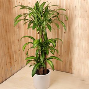 商业用花/巴西木: 3株巴西木;蝴蝶结装饰,由于自然生长问题每株均