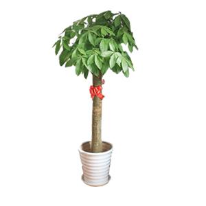 商业用花/精品发财树:精品发财树 花 语:精品发财树