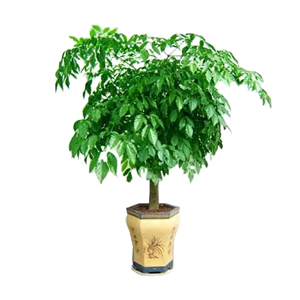 商业用花/幸福树: 幸福树,由于自然生长问题每株均有其自然特色,以